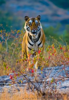 Bengal tiger, Bandhavgarh National Park, India  Follow Me :)