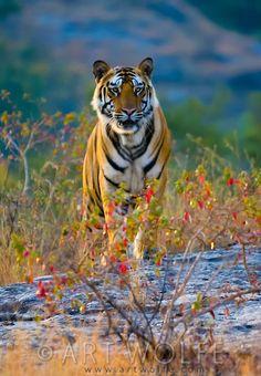 Bengal tiger, Bandhavgarh National Park, India