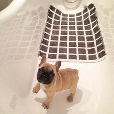 French Bulldog Puppy in the tub.