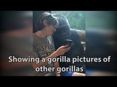 He showed a gorilla photos of other gorillas on his phone. Watch the gorilla's reaction! - YouTube