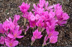RHS Plant Selector Colchicum tenorei AGM / RHS Gardening
