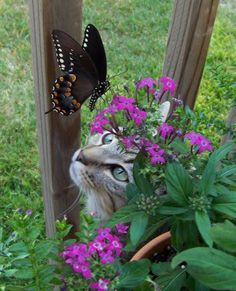 this is such a cool picture! Love the cat, flowers and of course the butterfly! J'adore le chat, les fleurs et bien sûr le papillon ! Beautiful Butterflies, Beautiful Cats, Animals Beautiful, Cute Animals, Butterfly Flowers, Butterfly Kisses, Pretty Flowers, Papillon Butterfly, Butterfly Weed