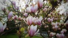 Magnolia #frühling #spring #flower