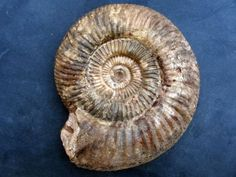 Parkinsonia (Parkinsonia) rarecostata (Buckman 1881) uploaded in Cephalopods Worldwide: 15cm. The second one from the Astarte Beds, acris subzone, pa...