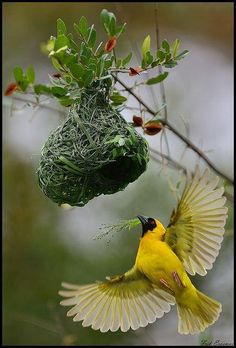 A Male Weaver Bird: Busy building a nest for his female partner; after he's finished building, the female comes to inspect it and if she's not happy with it, she breaks the top part of it off the branch and lets it fall to the ground!  If he wants to please her: He has to start all over again!  (Moral: Happy Wife = Happy Life!)