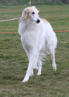 LongHaired Whippet Breeders | Whippet Long Haired