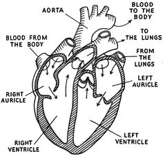 Discover the human heart and how it works with this free printable heart diagram labeled ccuart Image collections