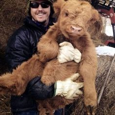 A cuddly Scottish Highland Calf Cute Baby Cow, Baby Cows, Cute Cows, Cute Baby Animals, Animals And Pets, Funny Animals, Farm Animals, Baby Elephants, Big Baby