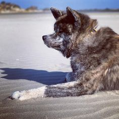 Sand is hot and sun is shining  #puppy #naokoakitainu #dog #paws #chien #pawsfriend #akitainu #akita #akitainudogs #akitainudog #akitainucute #japaneseakitainu #akitadogs #akitasofinstagram #akitapuppy #akitaworld #akitalovers #akitalife #akitapics  #akita_inu #animal #animals #dogs #cute #doglover #akitacutepuppy #dog_features Akita Puppies, Cute Puppies, Japanese Akita, Naoko, Dog Paws, Inu, Dog Lovers, Adventure, World