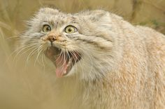 "Pallas Cat ""You DID eat my ice cream!"""