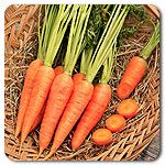 Organic Red Cored Chantenay Carrot