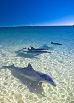 Dolphins at Monkey Mia, Australia. on my bucket list. Swim with the dolphins here Orcas, Beautiful Creatures, Animals Beautiful, Beautiful Babies, Foto Poster, Wale, Delphine, Sea World, Ocean Life