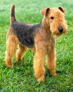 Lakeland terrier - A small version of an Airedale in regards to their marking/color.