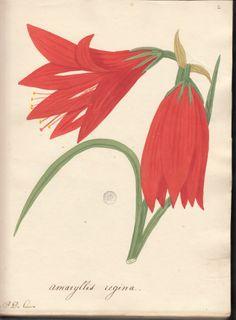 """Amaryllis Regina in """"Album d'aquarelles des fleurs"""", painted by P. De Cauwer, ca. 1850 #Booktower"""