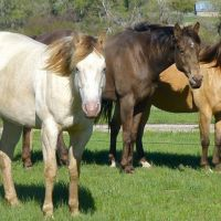 Pictorial Guide to Horse Colors Part 4: Gold Champagne, Amber Champagne, Sable Champagne, and Classic Champagne | Color Genetics