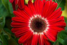 Red daisy flower