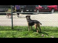 Sweet 7 year old Airedale Mix Ace needs a home.  Boone County Animal Shelter, Burlington, Kentucky  859-586-5285  http://youtu.be/MTvza7W_TF0
