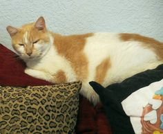 Nighty-night by Salty.  #nightynight #cookiesplace #shadowcatsrescue #cats