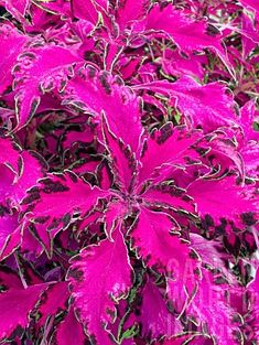 'Pink Chaos' Coleus (Low for Bed)--Toxic to Dogs, Plant in front yard.