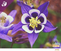 Para colorir seu dia: a planta Aquilégia, que encanta pela sua beleza, pode alcançar de 30 a 120 centímetros de altura. As flores surgem na primavera, solitárias ou em pequenos cachos. O significado do seu nome? Espiritualidade.