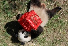 Tai Shan | hey, what are you doing up there? 0818 cd 758 | Craig Salvas | Flickr