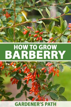 Barberry bushes are robust evergreen or deciduous shrubs with bright green, red, orange, or burgundy foliage. Versatile and easy to grow, these shrubs are ideal as foundation plantings or grown as standalone specimens. Learn how to add barberry to your landscape now on Gardener's Path. #barberry #shrub #gardenerspath