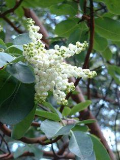 Arbutus menziesii—flowers