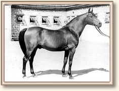 21. Kuhailan Haifi - The bay stallion Celebes, 1949, (Witraz x Canaria/Trypolis) was born at Albingowa State Stud. Celebes was small and stocky. He had an overall very good confirmation with perfect legs. Celebes trained daily for 13 years to perform in the circus show. This made him very athletic and agile. Celebes stood at stud for 11 years both in Michalow and in Janow. He became the chief progenitor of the Witraz branch.