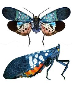 Lycorma olivacea Cool Insects, Flying Insects, Bugs And Insects, Beetle Insect, Insect Art, Beautiful Bugs, Beautiful Butterflies, Cool Bugs, Scary Bugs