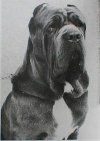 Diesel, a Great Dane/Neapolitan Mastiff mix from Majestic