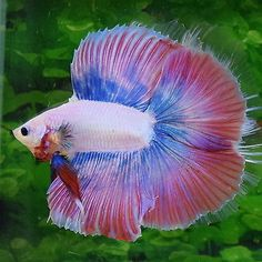 Stunning pink blue male - full moon betta - doubletail betta fish