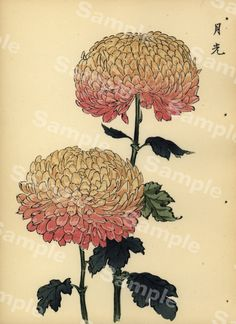 from Art of the Japanese Chrysanthemum Vintage Botanical Prints, Botanical Drawings, Antique Prints, Botanical Art, Japanese Chrysanthemum, Japanese Flowers, Japanese Prints, Japanese Art, Vintage Japanese