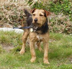 Border/Lakeland Terrier