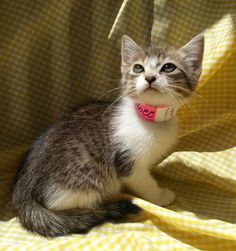 Meet Tina 22485, a Petfinder adoptable Domestic Short Hair Cat | Prattville, AL | Tina is a 9 week old gray/white tabby female.Dogs and puppies may be adopted for a fee of $120. All...