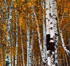 Autumn by Michael Li Landscape Photos, Abstract Landscape, Birch Forest, Photo Upload, Aspen, Cool Photos, Paintings, Autumn, Plants
