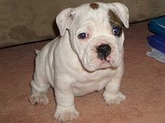 The major breeds of bulldogs are English bulldog, American bulldog, and French bulldog. The bulldog has a broad shoulder which matches with the head. Australian Bulldog, French Bulldog Mix, Every Dog Breed, Bulldog Puppies For Sale, Purebred Dogs, Dog Breeds, Terrier, Animals, Funny Bulldog
