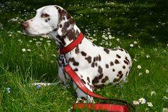 fuchs & fjonka - dalmatian red collar