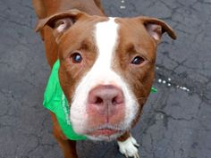 SWADE - A1034935 - - Manhattan TO BE DESTROYED 05/20/15 – A volunteer writes: Swade was a bit timid when I first met him, wondering maybe why I wanted to put a scarf around his neck. He obliged, though. He perked up seeing other dogs, males and females playing in an adjacent pen and went to salute them, tail wagging. He is understandably lost and overwhelmed as he had a home, an owner and even a playmate just yesterday. After a while spent together, Swade comes when