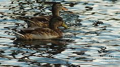 A couple of ducks take a final swim before the sun goes to bed for the evening. Photo by Chandra Nyleen