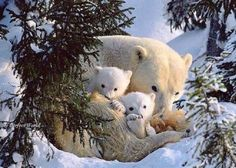 Three's company: Snuggled together for warmth, the young polar bear family find a safe place to rest on the first day away from their den. The cubs are 8 weeks old. Polar Cub, Baby Polar Bears, Cute Baby Animals, Animals And Pets, Arctic Animals, Wild Animals, Mundo Animal, Tier Fotos, Bear Cubs