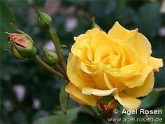 Image detail for -Picture of the rose 'Goldstern' (Climbing Rose)