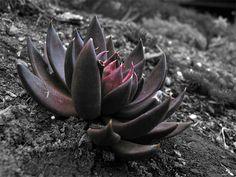 black garden | Properties of Black Lotus Dust