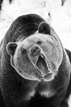 OUrs brun / savage brown Bear Animals And Pets, Funny Animals, Cute Animals, Nature Animals, Beautiful Creatures, Animals Beautiful, Photo Animaliere, Tier Fotos, Fauna