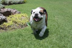 21 Best English bulldogs <3 images in 2014 | Dogs, Bulldog