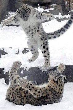 Everest, a six-month-old snow leopard cub, pounces on his mother Sarani on his first public outing at Brookfield Zoo in Chicago. Big Cats, Cool Cats, Cats And Kittens, Tabby Cats, Siamese Cats, Ragdoll Kittens, Funny Kittens, White Kittens, Adorable Kittens