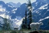 Mountain goats stand along the Easy Pass Trail. - North Cascades National Park