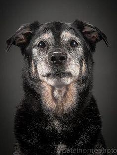 viejo-perro-retrato-fotografía-old-fiel-pete-thorne-9