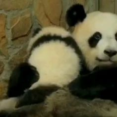 Baby Twin Panda Cubs See Fresh Snow For The First Time And Their Reaction Is Priceless Panda Gif, Panda Funny, Panda Panda, Cute Funny Animals, Cute Baby Animals, Wild Animals, Baby Panda Bears, Baby Pandas, Giant Pandas