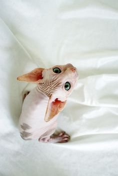 """No offense but i hate cats! I am a total dog person but one day I WILL have an inside out  (sphynx) cat. absolutely love them! They're over a $1000 each so I put them in the """"if I had a million dollars category"""" bc all of our pups were rescues and lets face it, $1000 is a lot of money when you're a stay at home mom--could buy a shit ton of diapers with that kinda cash!"""