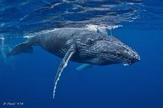 Beautiful Humpback whale calf.  <3 <3 <3